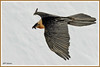 Gypaète 170315-12-RR-P (paul.vetter) Tags: oiseau ornithologie ornithology faune animal bird gypaètebarbu gypaetusbarbatus bartgeier quebrantahuesos beardedvulture vautour rapace