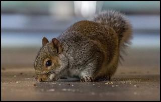 Enjoying the leftovers!   #squirrel #squirrels #animal #animals #cute #macro #depthoffield #stalbans #herts #hertsphotography #animallover #cuteanimal #bushytail #wow @canon #picoftheday #picoftheweek  #photo #photographer #rspca #wildlifephotography #wil