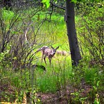 A Young Deer in Yosemite National Park thumbnail