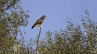 Hawk in Tree #81