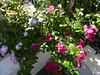 Οι δαφνούλες μου!!P1030542 (amalia_mar) Tags: λουλούδια δαφνούλα βίνκα γλάστρα vincacatharanthus roseus flowers flowerpot flora 7dwf