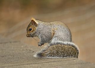 Radio active Squirrel