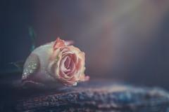 Pink dream (Ro Cafe) Tags: macro rose stilllife flower pink dark light wood romantic rustic nikkormicro105f28 nikond600