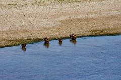 1224 Val de Loire en Août 2017 - Tours, au bord de la Loire au Pont Wilson (paspog) Tags: tours loire valdeloire france river fluss fleuve rivière août august 2017 canards ducks