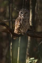 In the Woods (Khurram Khan...) Tags: barredowl owl wildlife wild wildlifephotography wwwkhurramkhanphotocom khurramkhan ilovenature ilovewildlife iamnikon nikonnofilter naturephotos naturephotography conservation sunset birdsofprey