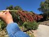 Sorghum Seed Head (Melinda Young Stuart) Tags: sorghum stem seeds cereal grain red leaves hand man sleeve blue sky ucbg crop cropsoftheworld food