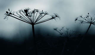 November umbellifer II