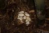 King Cobra Eggs (Ophiophagus hannah) (Jari Cornelis) Tags: jari cornelis canon 700d macro 60mm ophiophagus hannah king cobra bali indonesia herp herps herping herpetofauna reptile snake natgeo ngc dangerously venomous elapid eggs