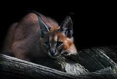 KARAKAL/Caracal (babsbaron) Tags: nature animals tiere katzen raubkatzen cats bigcats karakal caracal tierpark thüle