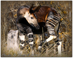 Okapi (Okapia johnstoni) (ctofcsco) Tags: 14x 14xii 1320 1d 1dmark4 1dmarkiv 1div 280mm canon colorado didnotfire digital ef ef200mmf2lisusm14x eos eos1d eos1dmarkiv esplora 2017 animal bokeh denver denverzoo explore explored geo:lat=3975024770 geo:lon=10494968870 geotagged nature northamerica picture statecapitol vinestreethouses wildlife wwwdenverzooorg zoo extender f40 flashoff iso100 mark4 markiv partial photo pic pretty renown shutterspeedpriorityae supertelephoto teleconverter telephoto unitedstates usa