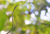 Mexican vine snake Oxybelis aeneus (Matthieu Berroneau) Tags: reptile reptilian reptilia serpente snake serpent nature herpéto herpeto trip 2017 costa rica field herp herping serpentes snakes wildlife пепелянка schlange animal animaux sony alpha a7ii ff 24x36 full frame sonya7ii sonyalphaa7ii sonya7mk2 sonyalpha7mark2 sonyalpha7ii 7ii 7mk2 sonyilce7m2 serpents costarica 90 28 fe f28 g oss fe90f28macrogoss sonyfesonyfe2890macrogoss objectifsony90mmf28macrofe sel90m28g mexican vine brown mexicanvinesnake brownvinesnake bejuca bejuquillo café bejuquillocafé liane mexicain serpentlianemexicain
