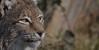 Lynx - enjoying the first sunbeams (pe_ha45) Tags: lynx luchs zoomgelsenkirchen