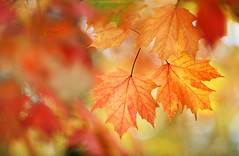 Maple Leaves (lfeng1014) Tags: mapleleaves maple mapletrees autumncolours autumn autumnleaves autumnmaple fallcolours fall macro macrophotography canon5dmarkiii 70200mmf28lisii dof depthoffield colourful closeup bokeh lifeng