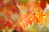 Maple Leaves (lfeng1014) Tags: mapleleaves maple mapletrees autumncolours autumn autumnleaves autumnmaple fallcolours fall macro macrophotography canon5dmarkiii 70200mmf28lisii dof depthoffield colourful closeup bokeh lifeng