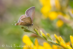 Theclinesthes miskini (ʘwl) Tags: butterfly blue victoria australia canon eos 1d mark iv 100mm macro f28 is insect flowers yellow theclinesthes miskini wattle