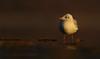 Black-headed Gull (Zahoor-Salmi) Tags: zahoorsalmi salmi wildlife pakistan wwf nature natural canon birds watch animals bbc flickr google discovery chanals tv lens camera 7d mark 2 beutty photo macro action walpapers bhalwal punjab