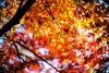 Golden Days (moaan) Tags: kobe hyogo japan jp maple mapleleaves japanesemaple momoji growth lihjy sunlight dof depthoffield bokeh bokehphotography nature naturephotography leica leicaphotography utata 2017 leicamp type240 noctilux 50mm f10 leicanoctilux50mmf10