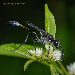 A Thread waisted wasp. (MCSindagi) Tags: wasp threadwaisted telemacro macro closeups sonyrx10iv sony sonyindia sonyrx10mk4 bangalore bengaluru karnataka