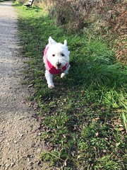 Samson enjoying a stroll (Artybee) Tags: samson walkies westie wes highland white terrier woodhall spa lincolnshire