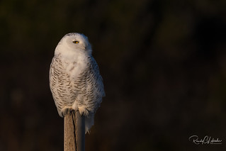 Snowy Owls of New Jersey | 2017 - 6