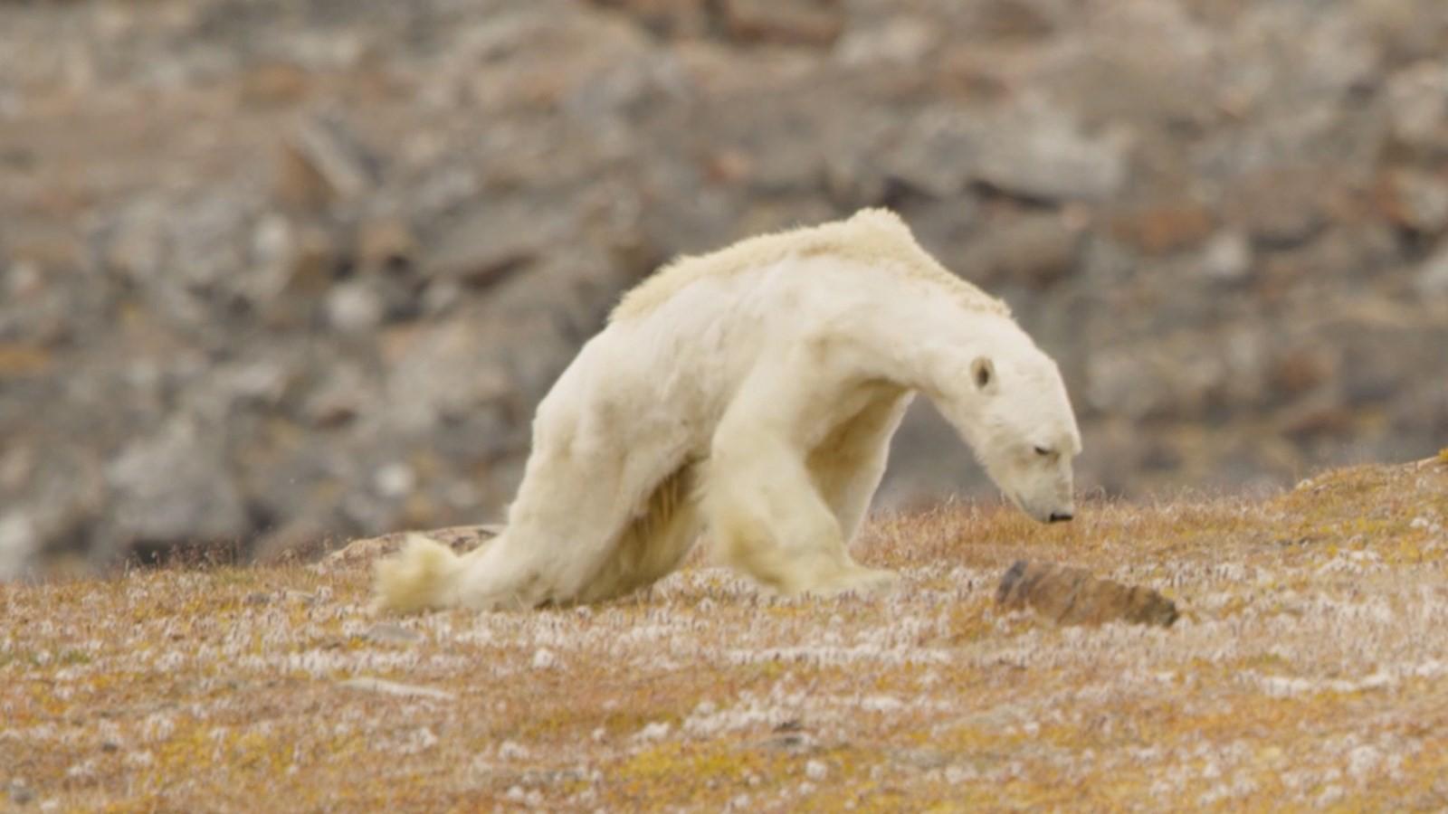 Gấu Bắc cực gầy dơ xương lê lết kiếm ăn vì đói - lời cảnh tỉnh đáng sợ với con người về biến đổi khí hậu - Ảnh 1.