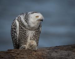 Snowy Close-up (Mike Bader) Tags: moresnowyowlpics toomanysnowyowlpics friendsaretiredofseeingsnowyowlpics snowyowls owls raptor birds birdsofprey birdphotography avian avianphotography