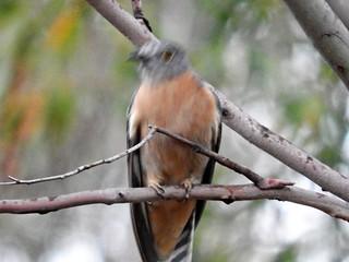 FSCN8872fan-tailed cuckoo in the rain PMR Tas Cacomantis flabelliformis (9)