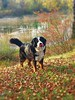 Balade en novembre #bouvierbernois #bernois #mountainbernese #bernese #mydog #dog #november #novembre (cordier38) Tags: bouvierbernois bernois mountainbernese bernese mydog dog november novembre