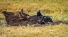 Bison roll in the dust bowl (Pejasar) Tags: bison american animal mammal dust dirt dustbowl roll upsidedown backscratcher dustcoating insectrepellent nature prairie wyoming yellowstone nationalpark grass hooves feetup fur ground earth connected comfort