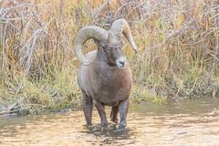 Bighorn Sheep ram in the South Platte River