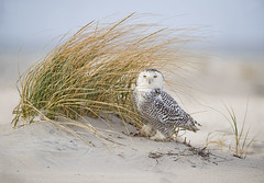Well Hidden... (DTT67) Tags: snowyowl snowy owl bird birdofprey wildlife nature nationalgeographic canon 1dxmkii 500mmmkii 14xtciii december winter beach dunes hiding