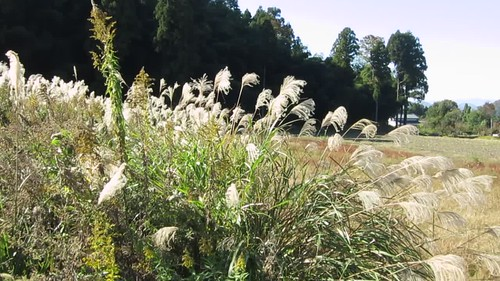 afternoon susuki grasses of the Aratani valley