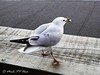 150. JOHNATHAN 5: Success (Meili-PP Hua 2) Tags: birds gulls seagulls seabirds waterbirds gull seagull coast coastal marine sea ocean seaside beach seashore avian mlpphfauna bird wildbirds mlpphnature nature
