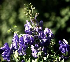 Monkshood in the Yard (Lynn English) Tags: monkshood purple garden bokeh typurpleflowers lynn