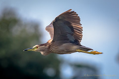 Black Crowned Night Heron (Kevin James54) Tags: airliegarden blackcrownednightheron kevingiannini nightheron nikond500 tamron150600mm wilmington animals avian bird kevingianniniphotocom