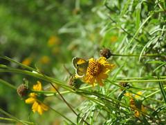 IMG_5463 (MLDelfino) Tags: butterfly rgv edinburgscenicwetlands daintysulphur