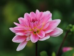 Dahlia (LuckyMeyer) Tags: blume pflanze blüte makro flower fleur plant garden dahlie rosa pink green