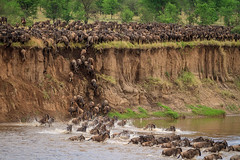 Wildebeest crossing the Mara River, Tanzania (Anne McKinnell) Tags: wildebeest wildlife marariver tanzania africa animal river migration