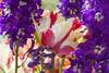 0130Spring16 (Robin Constable Hanson) Tags: delphinium flowers horizontal larkspur pink purple spring tulips white