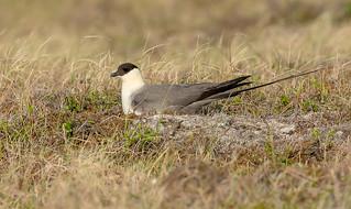 Long-tailed Jaeger (Stercorarius longicaudus pallescens)  - Nome, AK