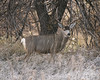 Big Mule Deer Buck On Edge of Wood (dcstep) Tags: dsc4001dxo sonya9 fe100400mmf4556gmoss fe14xteleconverter cherrycreekstatepark colorado aurora usa nature urban urbannature buck bigbuck muledeer mule deer all rights reserved copyright 2017 david c stephens dxo photolab 101 allrightsreserved