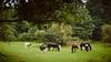 Borkener Paradies (Jos Mecklenfeld) Tags: borkenerparadies versen meppen emsland germany deutschland duitsland cows horses koeien paarden kühe pferde nature natur natuur landscape landschaft landschap hiking wandern wandelen sonya6000 sonyilce6000 selp1650 niedersachsen de