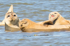 048-_W4A4178 Common Seals (Phoca vitulina) (ajmatthehiddenhouse) Tags: uk kent sandwich riverstour boattrip mammal commonseal phocavitulina harbourseal harborseal
