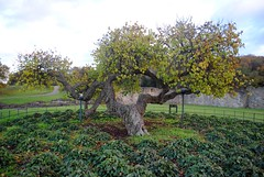 Lesnes Park Mulberry Tree (zawtowers) Tags: green chain section 1 walk thamesmeadtolesnesabbey sunday 12th november 2017 dry cold amble stroll walking south east london suburbs lesnes abbey park lesnesabbeylesnes ruins closed 1534 dissolution mulberry tree preserved