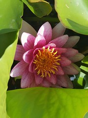 Nymphaea alba (Iggy Y) Tags: nymphaeaalba nymphaea alba summer blossom flower pink color flowers green leaves water plant bijelilopoč lopoč whitewaterlily lily sunny day light nature