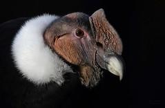 SANCHO (babsbaron) Tags: nature tiere animals birds vogel vögel greif greifvogel raptors wildpark lüneburg lüneburgerheide