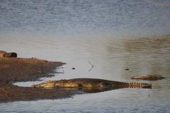 Timbavati Private Nature Reserve - crocodile