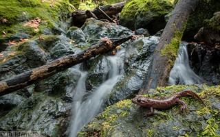 California Giant Salamander - Dicamptodon ensatus