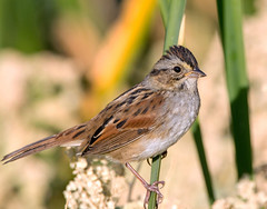 Swamp Sparrow (Ed Sivon) Tags: america canon nature lasvegas wildlife wild western southwest desert clarkcounty clark vegas bird henderson nevada nevadadesert preserve