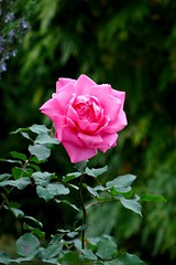 Rose (Carandoom) Tags: 2017 suisse switzerland plante plant fleur flower jardin garden botanic botanique macro rose pink feuille